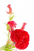 foto of celosia  - Red flower - JPG