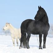 Black Horse And White Pony Together