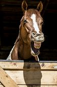 stock photo of horse face  - Horse is laughing standing out from a barn