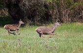 Hind And Young Deer On Meadow