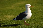 Seagull on Grass in california