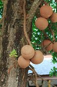 picture of cannonball  - Sal trees cannonball tree or sal of India - JPG
