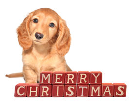 stock photo of puppy christmas  - Miniature dachshund puppy seated in front of  - JPG