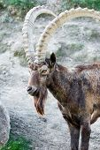 picture of mongol  - Male Siberian ibex Capra sibirica with his impressive horns - JPG