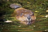 picture of beaver  - Cute swimming beaver in murky lake water - JPG