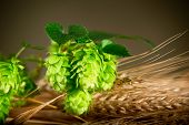 picture of hop-plant  - detail of hop cones and barley with dark background - JPG