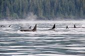 Постер, плакат: ORCAS ON THE MOVE