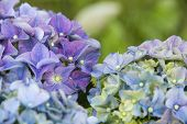 stock photo of hydrangea  - A purple hydrangea flower in full bloom