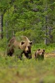 image of bear-cub  - Brown bear walking with a cub in the forest