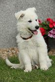 picture of swiss shepherd dog  - Beautiful puppy of White Swiss Shepherd Dog sitting in the garden - JPG
