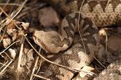foto of venom  - large head of vipera ammodytes  - JPG