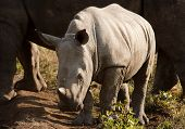 Wild Baby Rhinoceros In Sunlight