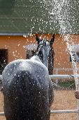 stock photo of stable horse  - Black horse on a stable wash with a strong stream of water - JPG
