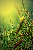 stock photo of cattail  - Cattails and Reeds on a background of sky in the morning light - JPG