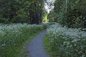 foto of greenery  - Jogging tracks surrounded of Anthriscus sylvestris - JPG