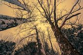 image of canopy  - A low angle view looking up at a canopy of tall bare trees partially covered in snow during the winter season - JPG