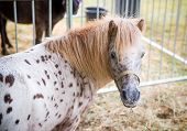 picture of appaloosa  - A close up portrait of a pony at a farm - JPG