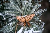 picture of pine-needle  - A close up of frozen pine tree needles and two pine cones covered in ice after an ice storm - JPG