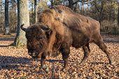 foto of aurochs  - european bison in the forest - JPG