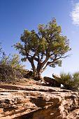 picture of semi-arid  - A Utah Juniper tree sits on top of a sandstone ridge in Colorado National Monument - JPG