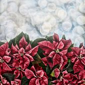 picture of poinsettia  - Poinsettia plant fills the bottom half of the frame with bokeh lights in the background - JPG