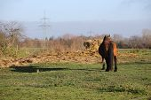 pic of shire horse  - Big and heavy plow horse standing on a meadow in front of a hay bale casting a long shadow - JPG