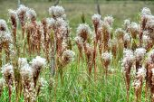 image of tall grass  - Close up of tall wild grass in the countryside of Panama - JPG