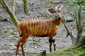 picture of antelope horn  - The bongo  - JPG