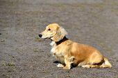 pic of long-haired dachshund  - Light - JPG