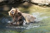 picture of grizzly bear  - Two juvenile Grizzly bears play wrestling in the water - JPG