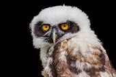 picture of spectacles  - Portrait of young spectacled owl isolated on black background - JPG