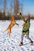 picture of pit-bull  - Young woman playing with dog breed American Pit Bull Terrier in winter - JPG