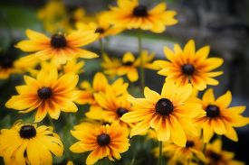 image of black-eyed susans  - A close up of black eyed susan flowers during the summer season - JPG