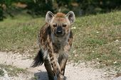 foto of hyenas  - a picture of a hyena walking around - JPG