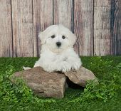 picture of little puppy  - Sweet little Maltipoo puppy laying outdoors on rocks with ivy around them with copy space - JPG