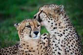 picture of licking  - Cheetah wild cat pair grooming and licking each other - JPG
