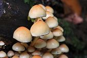 stock photo of toadstools  - toadstools growing on a tree trunk in Autumn  - JPG