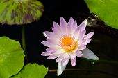 foto of water bug  - A light purple water lily on the dark water with its leafs - JPG