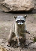 image of raccoon  - Raccoon sitting and staring intently - JPG