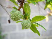 picture of custard  - Twin horizontal raw custard apple fresh from the tree - JPG