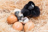 image of born  - Newly born chick lying beside its brown egg - JPG