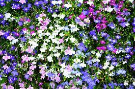 stock photo of lobelia  - Colorful lobelia flowers in white - JPG