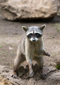 pic of raccoon  - Raccoon sitting and staring intently - JPG