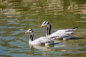 The Bar-headed Goose Is Named For The Two Conspicuous Dark Bars Running Around The Back Of Its White poster