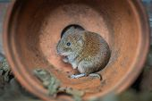 A Close Up Photograph Pf A Small Bank Vole Rodent Hiding From Predators In A Fallen Over Plant Pot poster