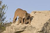 stock photo of mountain lion  - Cougar protecting her kits - JPG