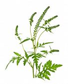 image of ragweed  - Ragweed plant in allergy season isolated on white background common allergen - JPG