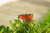 Beautiful Butterfly On A Bush. A Butterfly Sits On A Green Bush. A Beautiful Butterfly Sits. poster