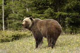 stock photo of grizzly bear  - Grizzly bear shot in Banff National Park Alberta - JPG