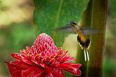 Long-billed Hermit - Phaethornis Longirostris Large Hummingbird On The Red Bloom, Resident Breeder F poster